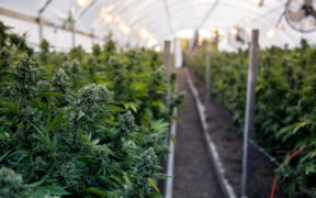 Cannabis cultivation in greenhouse